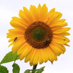 Sonneblume-32521b1