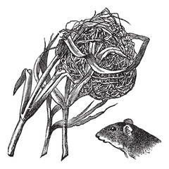 Nest and the head of harvest mouse vintage engraving