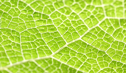 Macro of green leaf