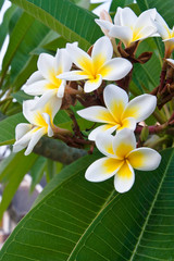 The bunch white frangipani in thailand