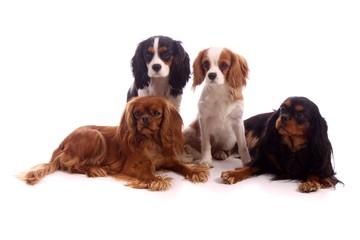 vier Hunde Cavalier King Charles Spaniel