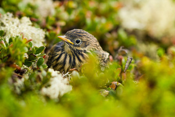 An young Meadow Pipit