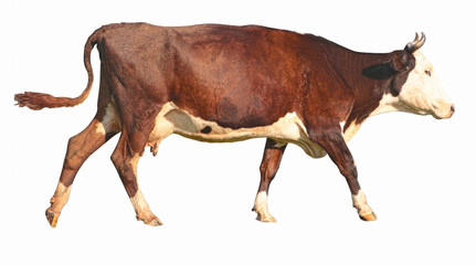 side view of a walking brown cow in front of a white background