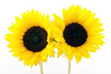 yellow sun flower