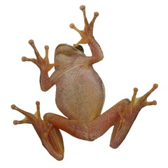 European tree frog on window isolated on white, Hyla arborea