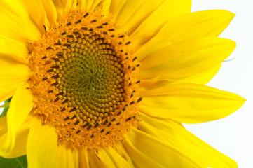 Sunflower macro closeup