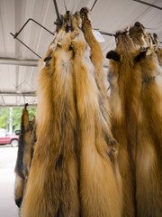Otter pelts in Seligman Arizona on Route 66 USA