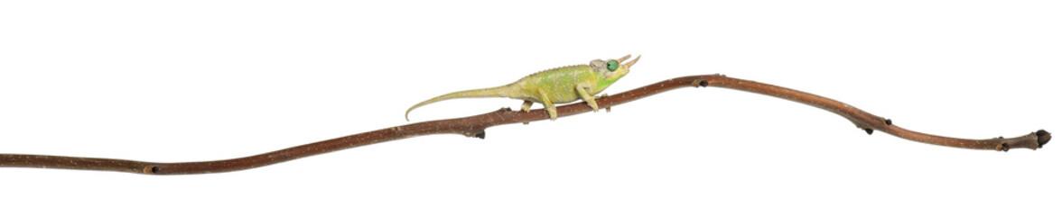Mt. Meru Jackson's Chameleon, Chamaeleo jacksonii merumontanus