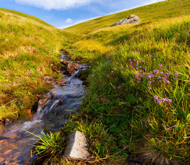 Wall Mural - flowers of thyme beside a spring in the mountains