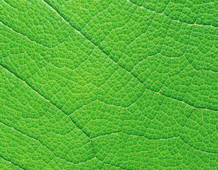 Extreme macro of green leaf with veins like a tree