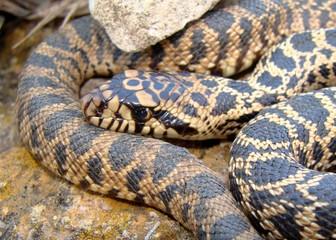 Juvenile Bull Snake, Pituophis catenifer sayi