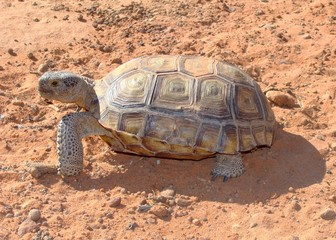 Desert Tortoise, Gopherus agassizii, in Mojave of Utah