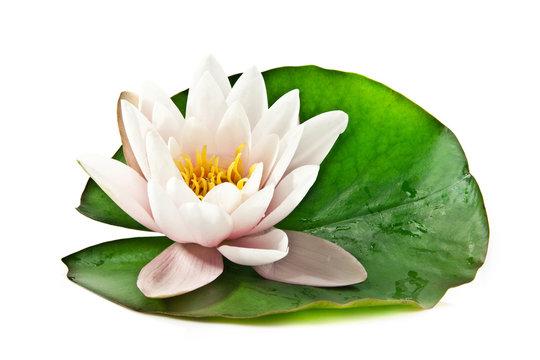 white lotus on leaf