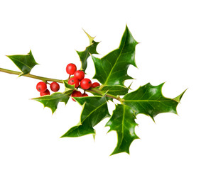holly tree twig with berries