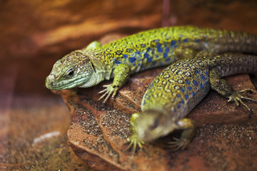 Two green lizards lie on the stone.