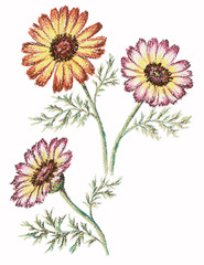 Picture, flowers of a chrysanthemum