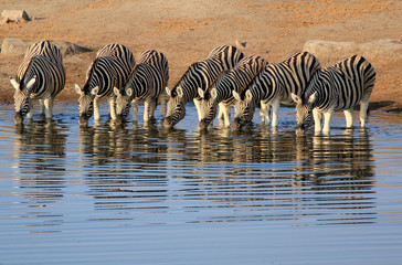 Staande foto Zuid Afrika Herd of Burchell´s zebras drinking water in Etosha wildpark