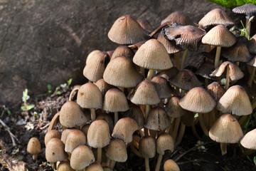 Toadstool , mushroom