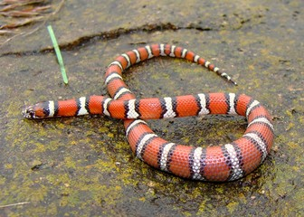 Juvenile Red Milk Snake, with lizard in belly