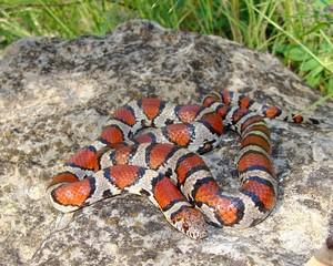 Red Milk Snake, Lampropeltis triangulum syspila