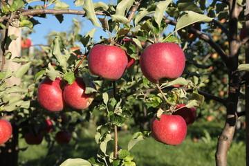 Apfel apple