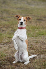 Parson Jack Russell terrier sitting up and begging