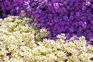 Lila vs. White - Blumen