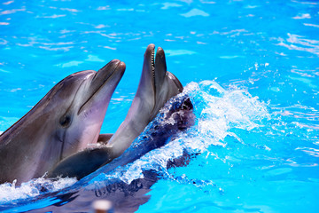 Foto op Canvas Dolfijnen Couple of dolphin in blue water.