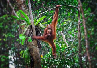 orangutang in action Fotomurales