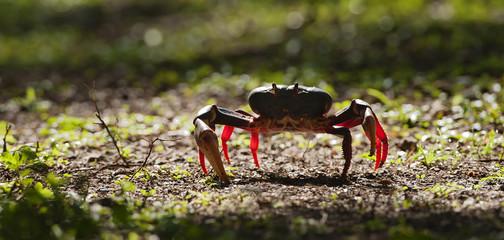 Caribbean land crab.