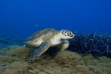 Green turtle over blue ocean background.