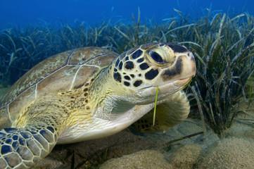 Green turtle feeding on seagrass.