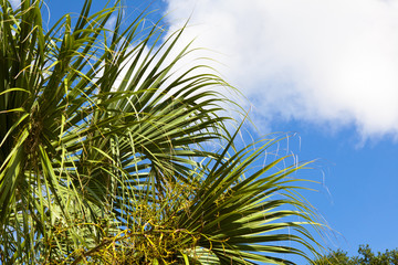 Palmetto Palm Leaves Against Blue Sky