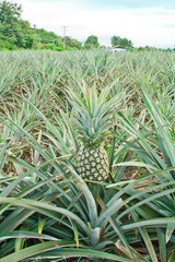 fresh pineapple growing in field