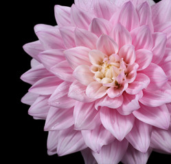 beautiful pink dahlia isolated on black