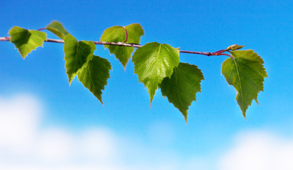leaf of birch and spring day