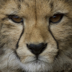 Threatening look of a cheetah, close up
