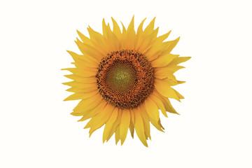flower colors on white background, sunflower