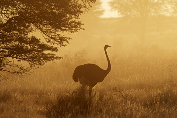 Ostrich in dust, Kalahari desert, South Africa