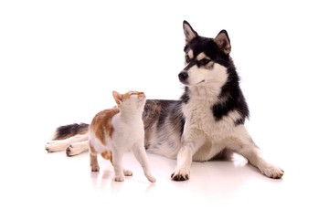 Junghund Husky beobachtet junge Katze