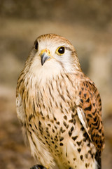 Kestrel bird portrait