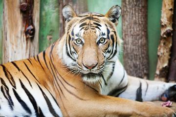 beautiful big tiger in a zoo