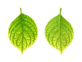 Iron deficiency of Hydrangea macrophylla leaf - chlorosis