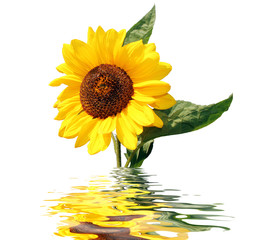 sonnenblume spiegelung