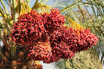 Date palm branches with ripe dates. Northern israel.