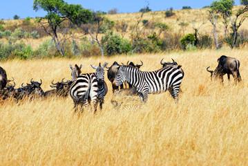 Printed roller blinds Zebra Gnus and zebras