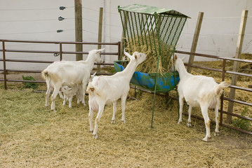 Goats Feeding and Suckling