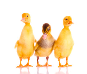 little yellow ducklings isolated on white