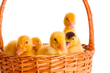 some ducklings in a basket isolated on white