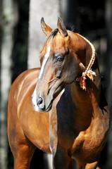 bay akhal-teke horse portrait